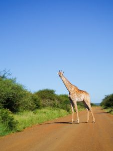 giraff i krugerparken